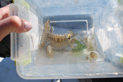 Mantis shrimp!